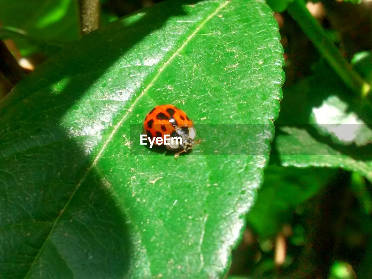 insect, invertebrate, animal, animal themes, plant part, leaf, animal wildlife, one animal, animals in the wild, close-up, ladybug, beetle, plant, nature, green color, day, no people, red, outdoors, growth