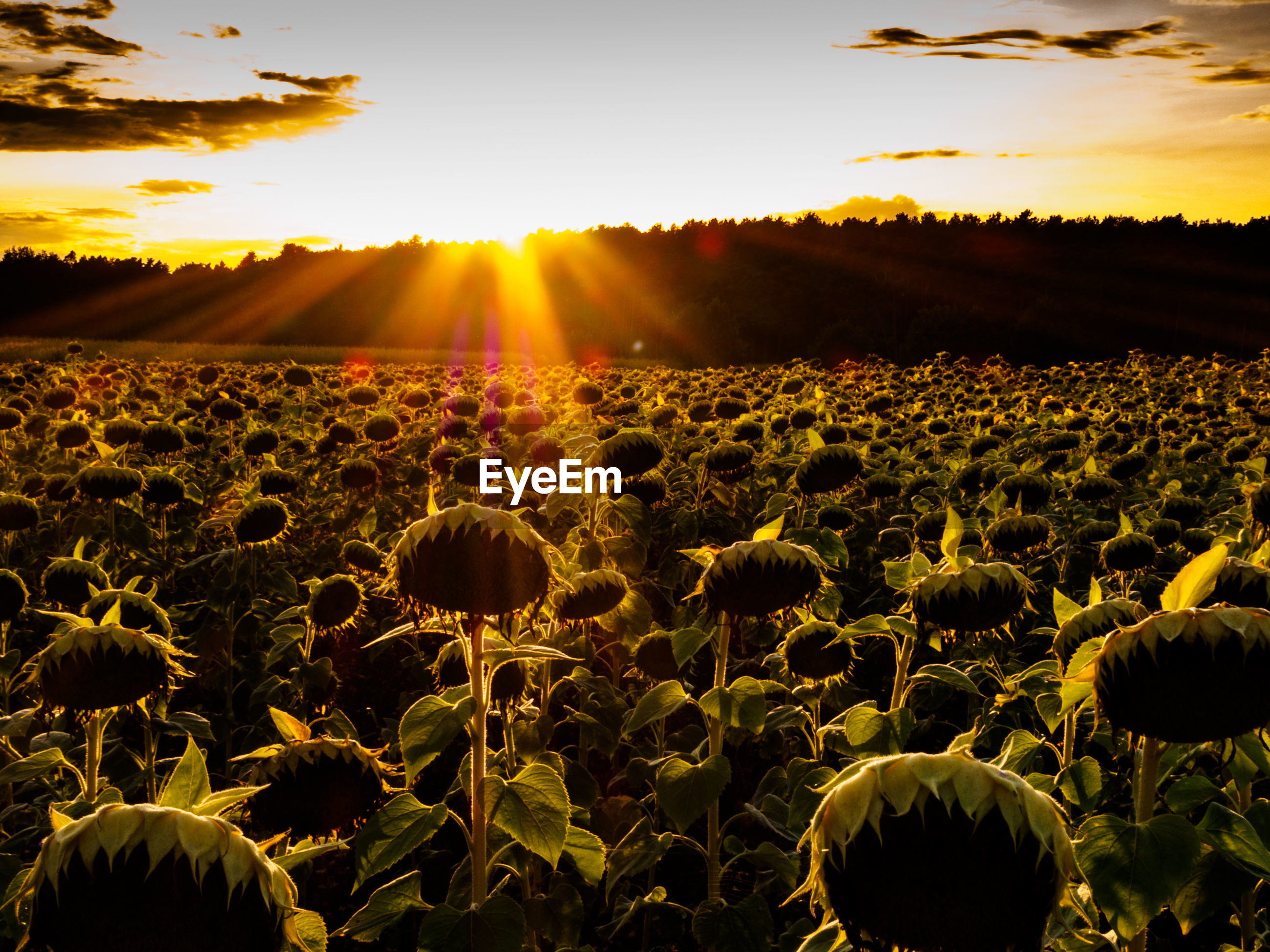 VIEW OF SUNFLOWER FIELD AT SUNSET