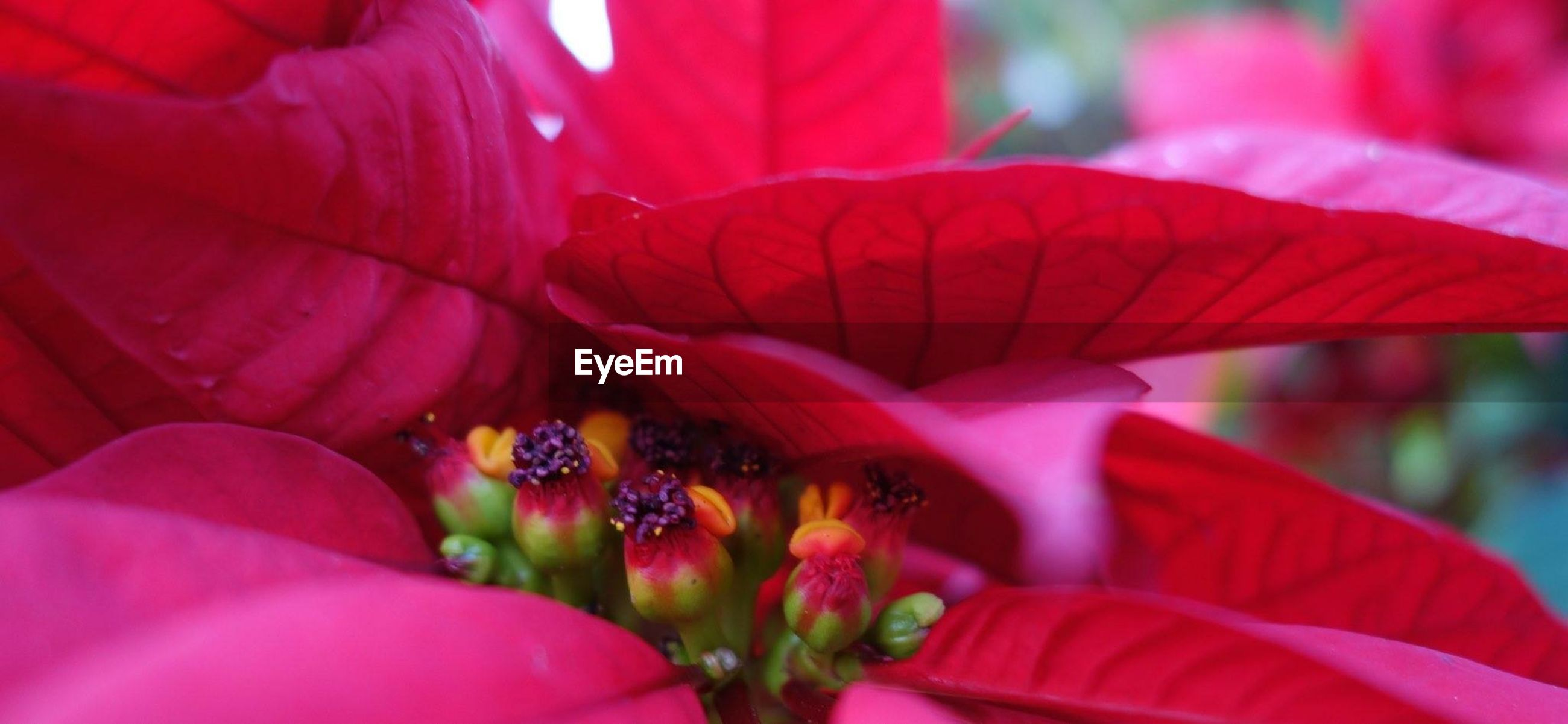 Close-up of red poinsettia in garden