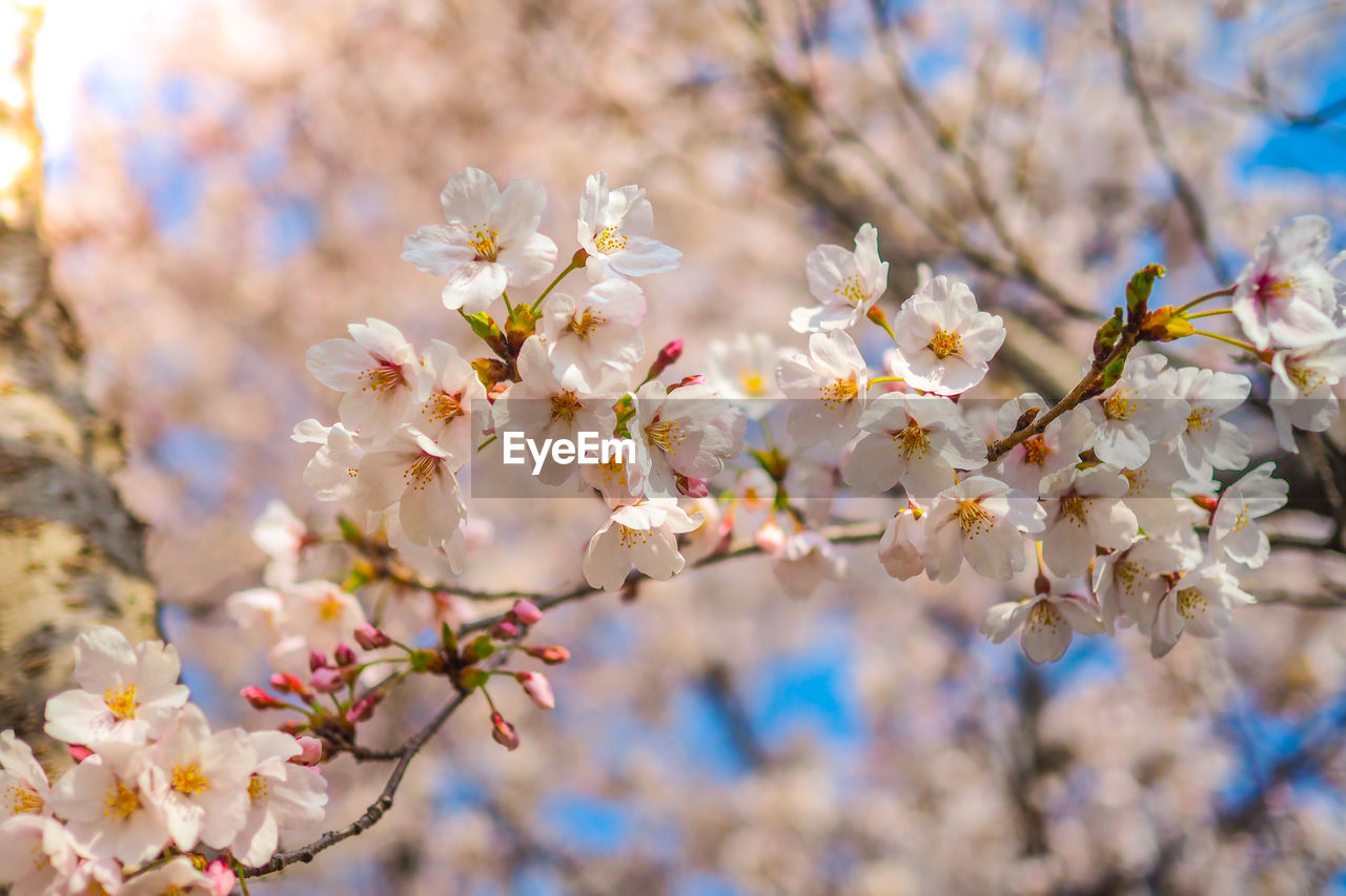 flowering plant, flower, plant, freshness, fragility, vulnerability, growth, beauty in nature, tree, blossom, springtime, branch, close-up, cherry blossom, petal, day, nature, no people, selective focus, focus on foreground, flower head, outdoors, cherry tree, pollen, bunch of flowers, spring