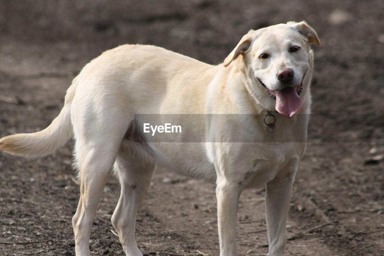 mammal, one animal, domestic, animal, pets, animal themes, canine, domestic animals, dog, vertebrate, land, standing, focus on foreground, portrait, field, looking at camera, no people, day, sticking out tongue, nature, mouth open, animal tongue, animal head, animal mouth