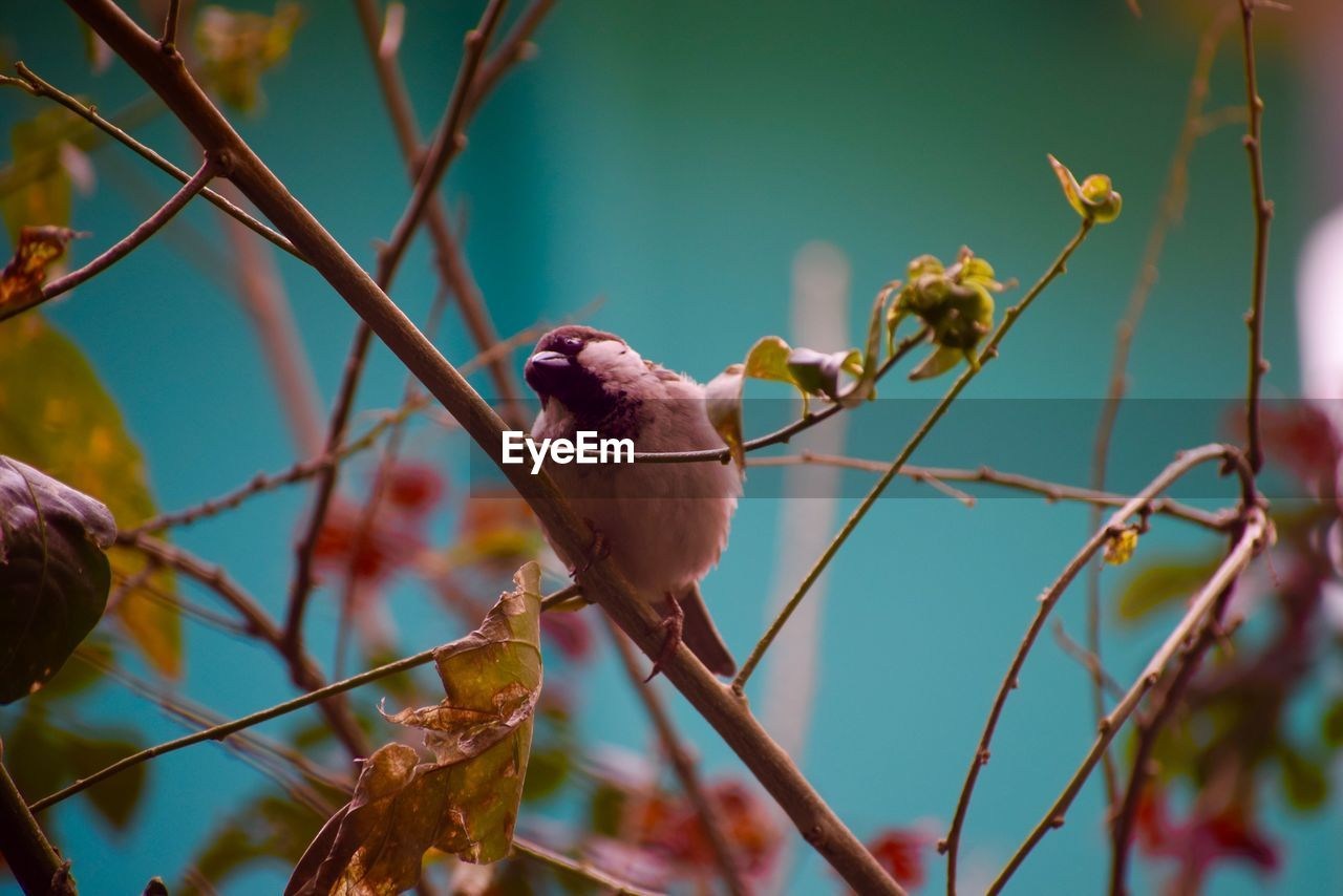bird, vertebrate, animal, animal themes, animal wildlife, perching, animals in the wild, branch, plant, no people, one animal, tree, nature, focus on foreground, selective focus, sparrow, day, close-up, outdoors, beauty in nature
