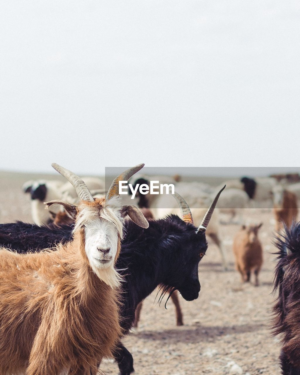 mammal, animal, animal themes, domestic animals, group of animals, domestic, vertebrate, livestock, focus on foreground, pets, horned, animal wildlife, no people, copy space, nature, land, field, day, cattle, sky, herbivorous, animal head, herd