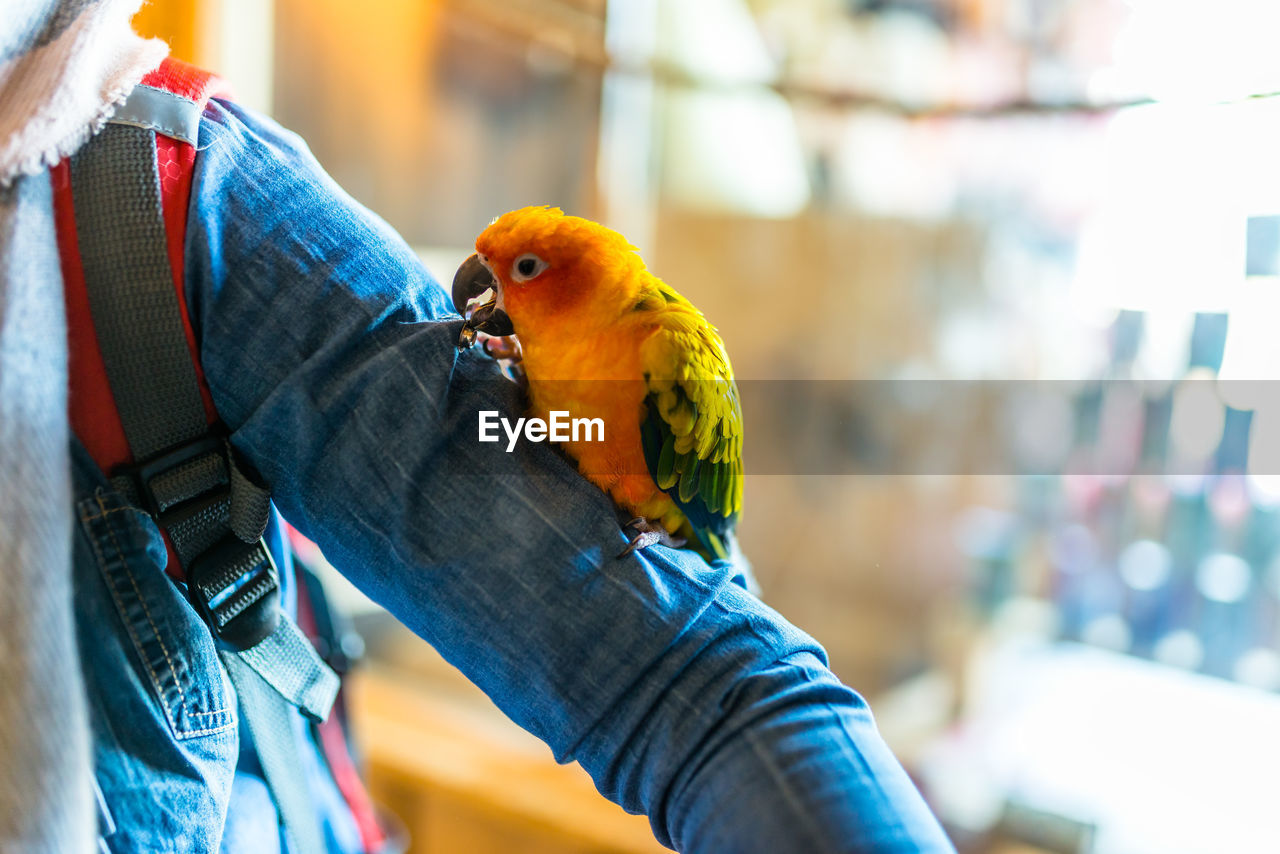 bird, parrot, vertebrate, animal wildlife, focus on foreground, perching, animals in the wild, one animal, day, multi colored, close-up, one person, parakeet, real people, outdoors, rainbow lorikeet, incidental people