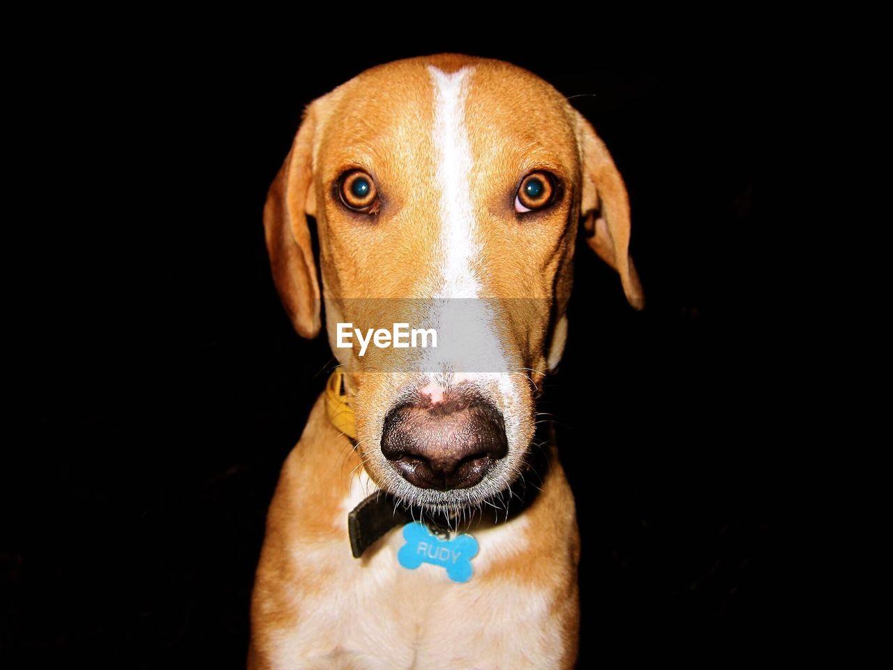 Close-Up Portrait Of Dog Over Black Background