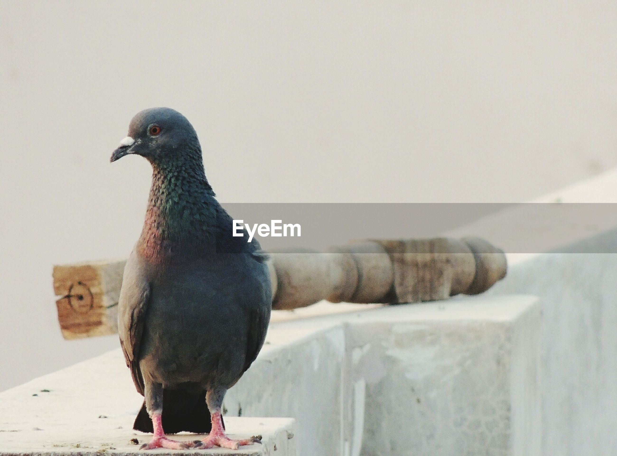 Close-up of pigeon perching