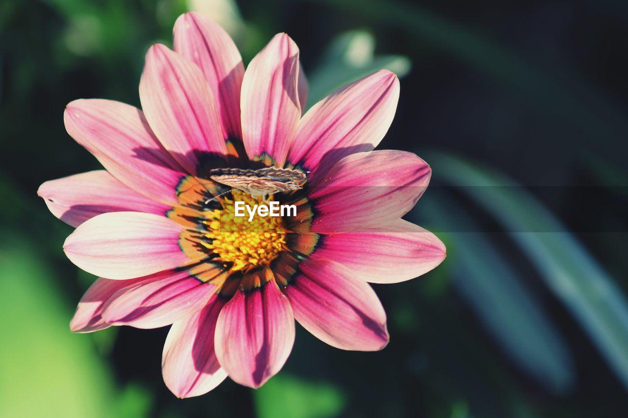 CLOSE-UP OF HONEY BEE ON PINK DAISY