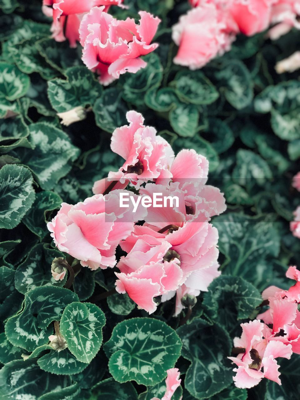 growth, plant, leaf, pink color, flower, petal, green color, beauty in nature, no people, nature, fragility, freshness, flower head, outdoors, day, close-up, blooming