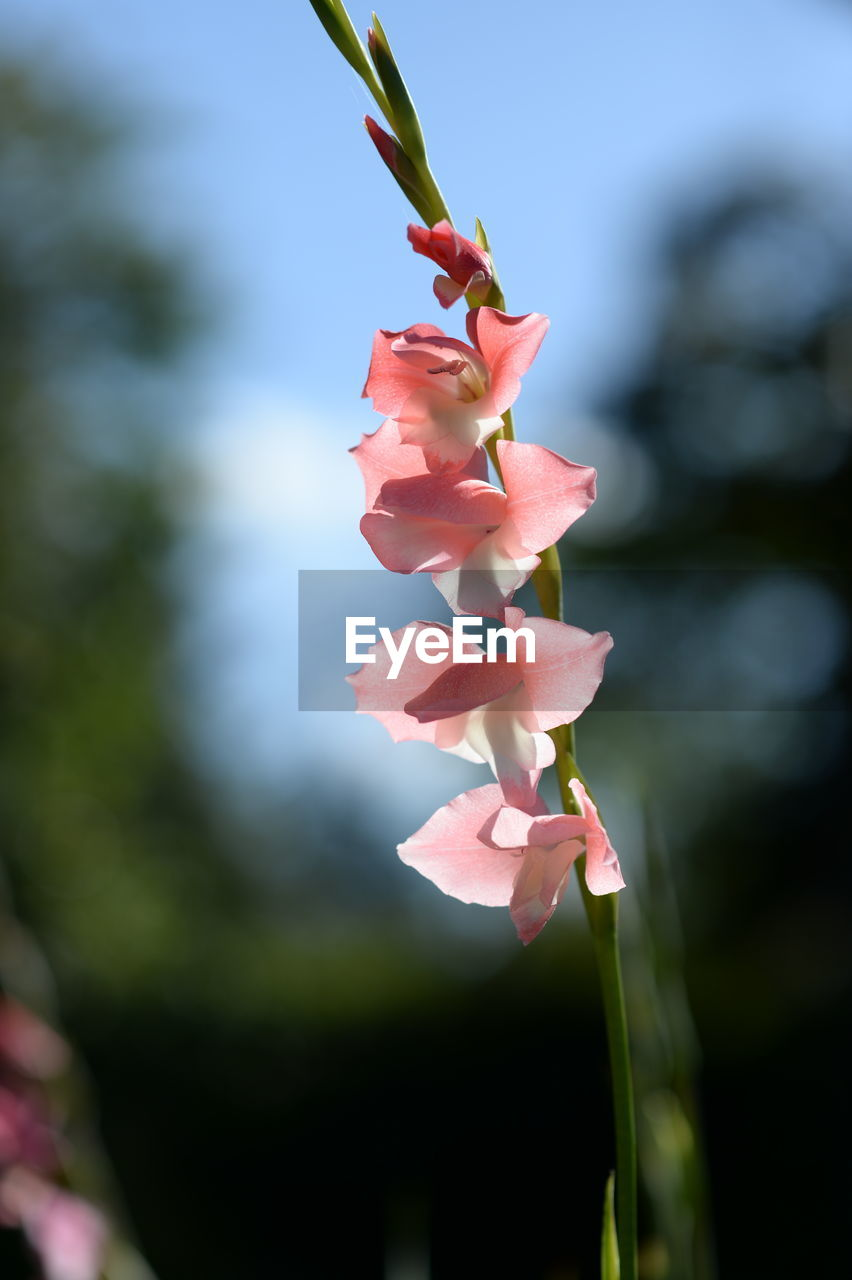 CLOSE-UP OF PINK FLOWER BLOOMING IN SUNLIGHT