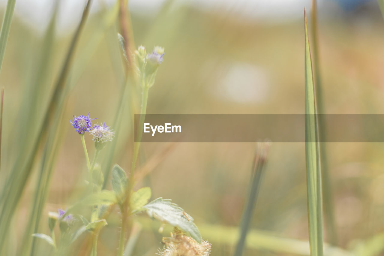 flowering plant, flower, plant, growth, beauty in nature, vulnerability, fragility, freshness, close-up, nature, selective focus, no people, plant stem, focus on foreground, day, petal, flower head, inflorescence, botany, outdoors, purple, lavender, blade of grass
