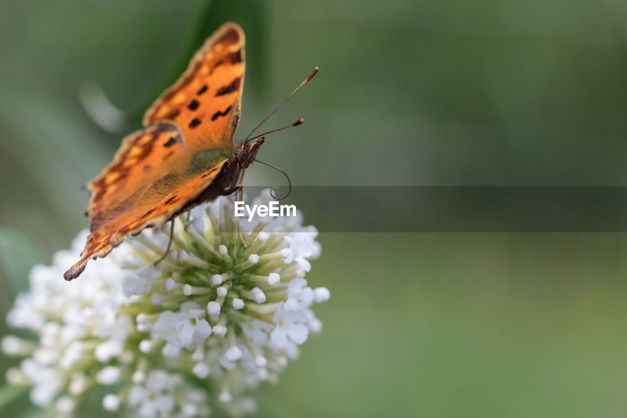 insect, animal wildlife, invertebrate, animal themes, one animal, flower, animals in the wild, animal, animal wing, plant, flowering plant, beauty in nature, butterfly - insect, close-up, growth, fragility, vulnerability, nature, freshness, no people, pollination, flower head, butterfly, outdoors