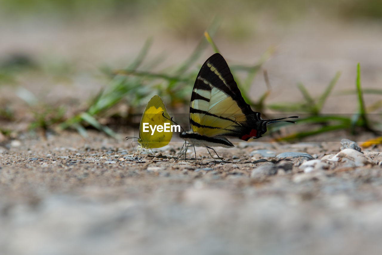 invertebrate, animals in the wild, insect, animal themes, animal wildlife, animal, one animal, selective focus, animal wing, day, butterfly - insect, close-up, beauty in nature, no people, nature, outdoors, yellow, animal antenna, solid, animal body part, surface level, butterfly