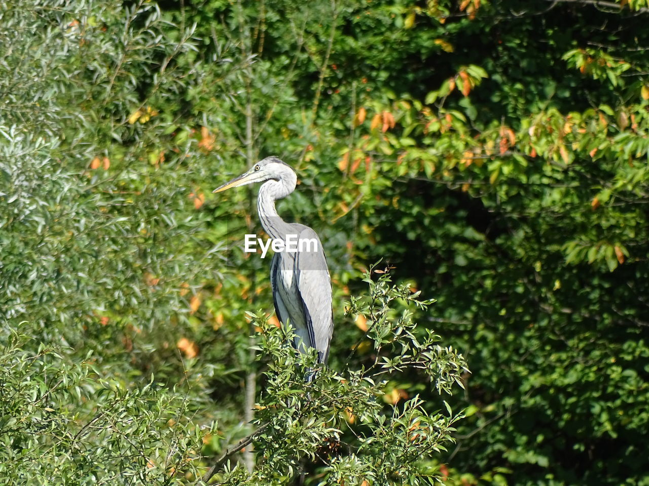 Gray Heron Perching On Tree During Sunny Day