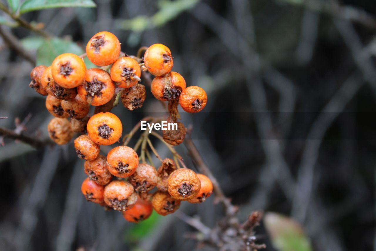 Close-Up Of Rowan Berries Against Blurred Background