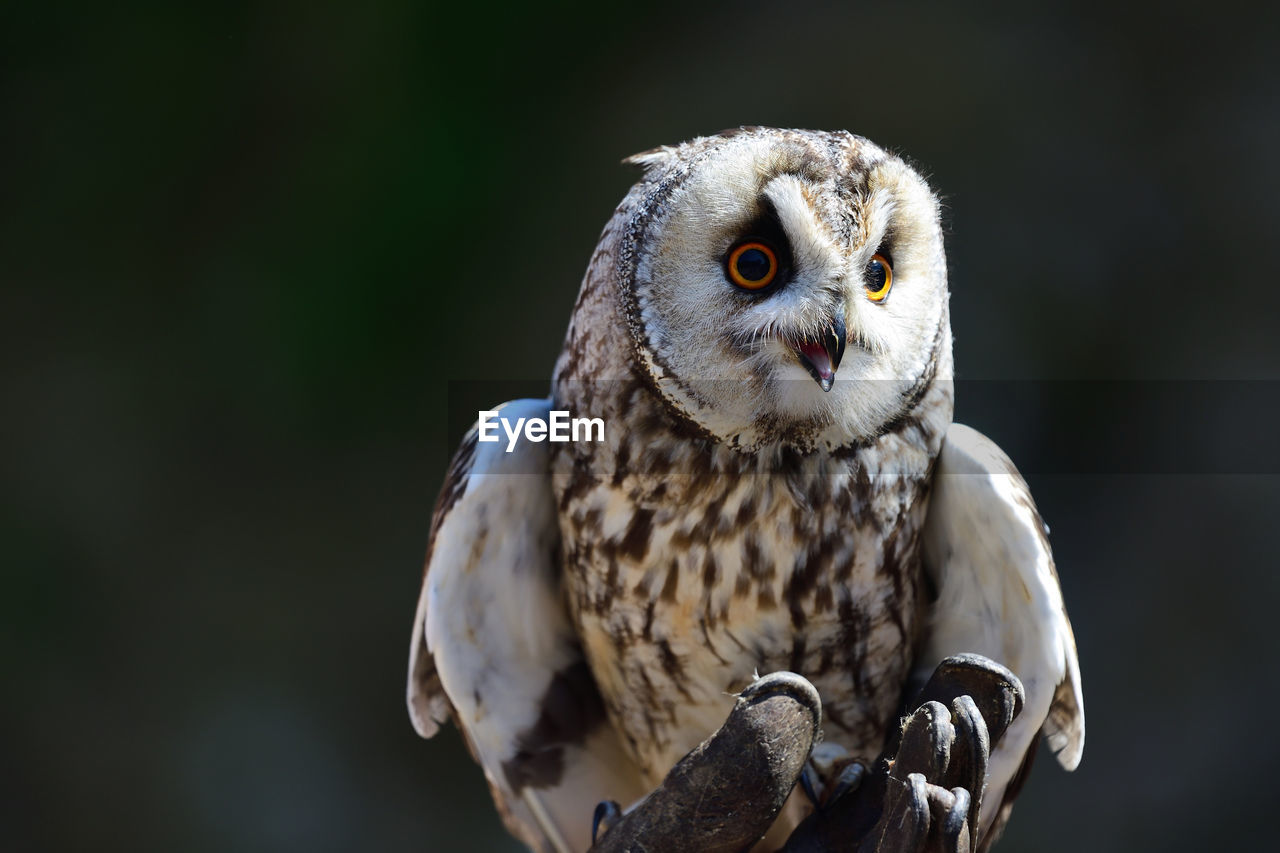 Portrait of a long eared owl perched in a falconers hand