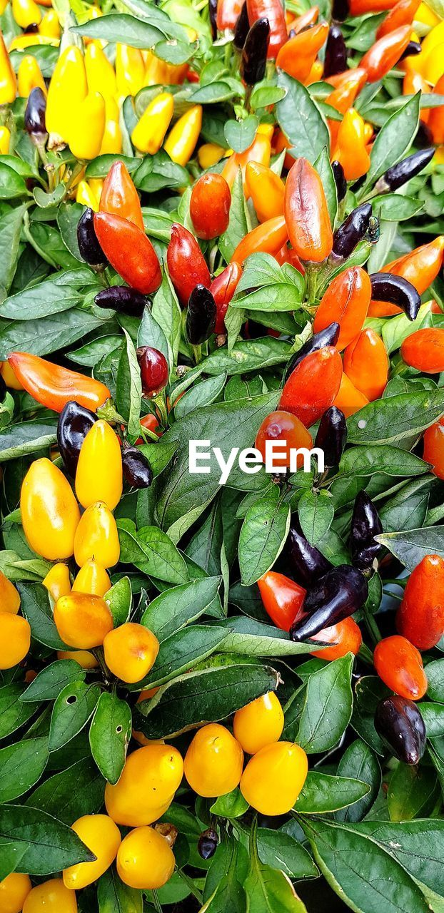 food, food and drink, healthy eating, wellbeing, vegetable, freshness, fruit, green color, full frame, plant part, leaf, no people, backgrounds, pepper, spice, chili pepper, yellow, large group of objects, close-up, tomato, ripe, leaves