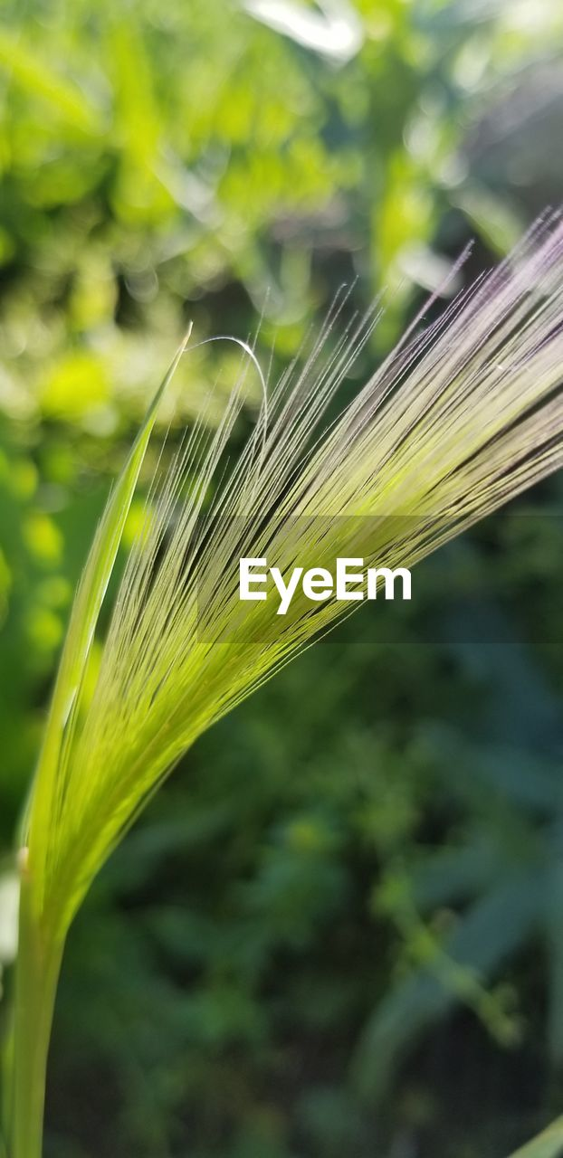 growth, focus on foreground, plant, close-up, nature, crop, fragility, day, no people, outdoors, agriculture, freshness, rural scene, cereal plant, wheat, beauty in nature