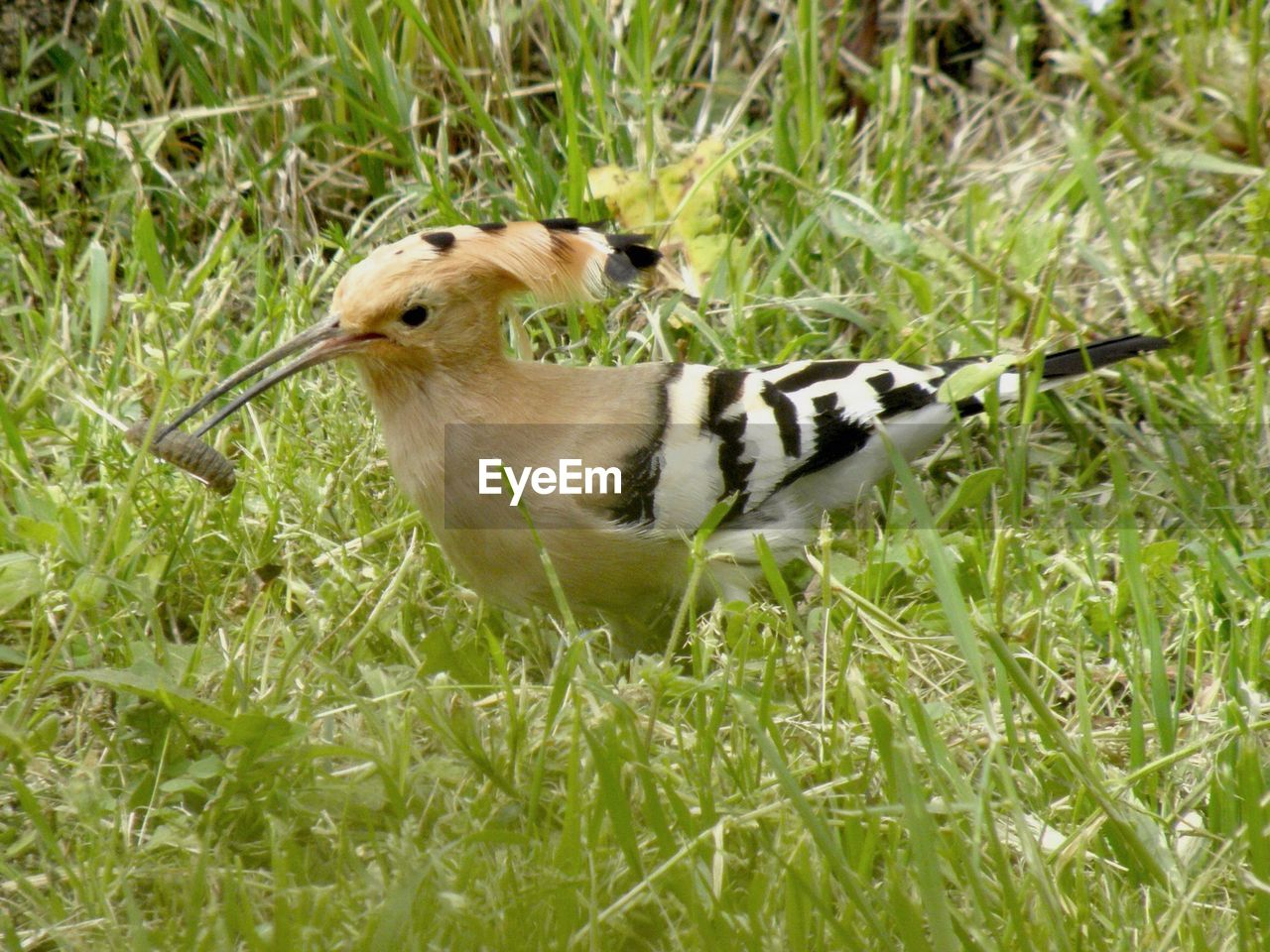 animal themes, one animal, grass, animals in the wild, animal wildlife, bird, day, no people, nature, outdoors, close-up