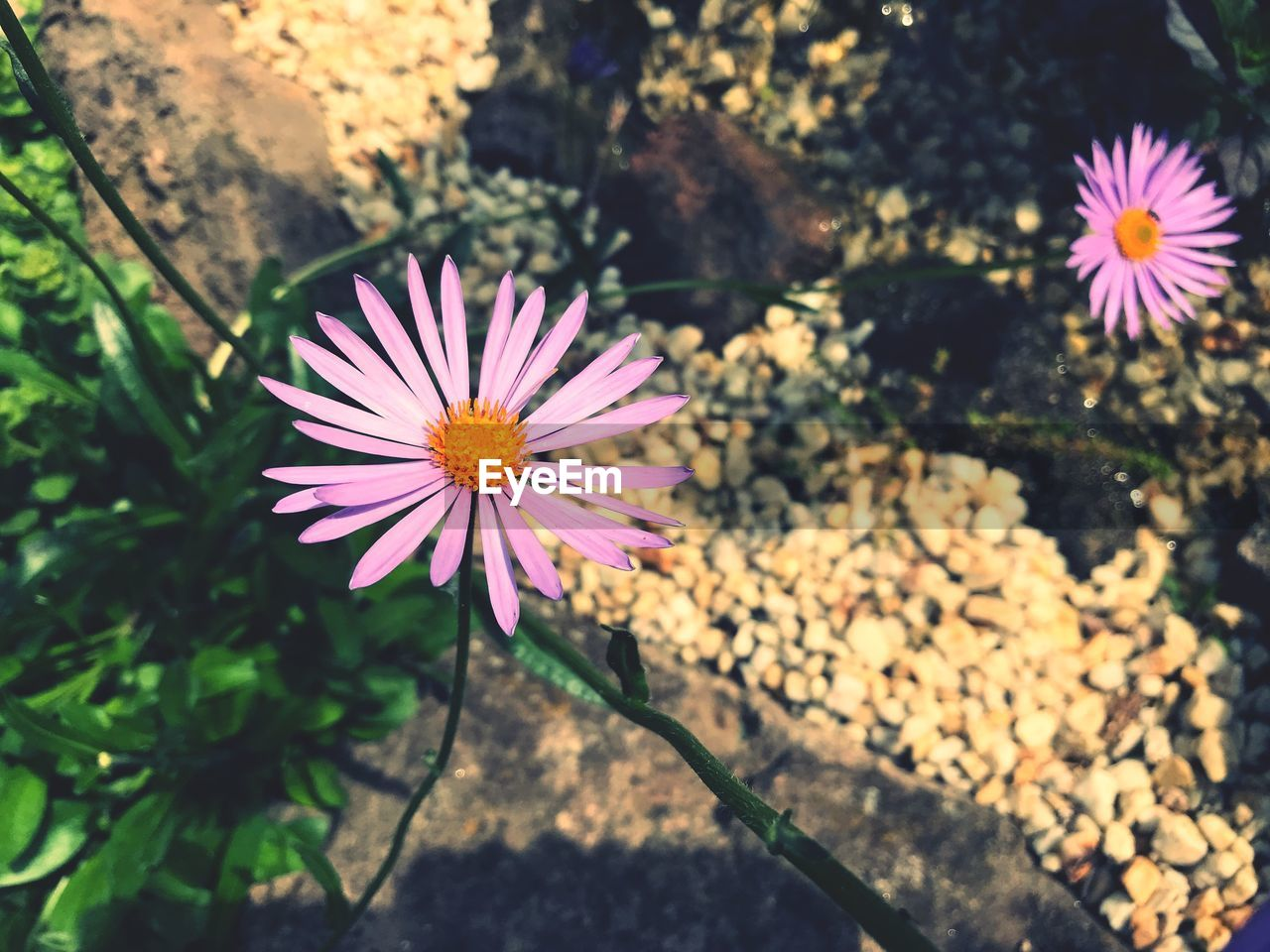 flowering plant, flower, plant, beauty in nature, vulnerability, freshness, petal, fragility, growth, flower head, inflorescence, close-up, nature, focus on foreground, day, no people, sunlight, pollen, pink color, outdoors, purple, gazania