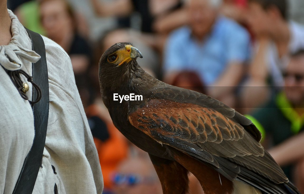 Close-up of eagle with owner looking away