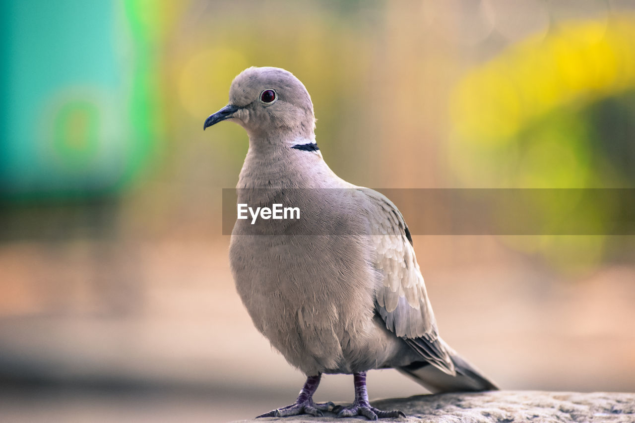 bird, animal themes, vertebrate, animal, animals in the wild, one animal, animal wildlife, perching, focus on foreground, close-up, no people, day, mourning dove, outdoors, nature, dove - bird, full length, beak, selective focus, zoology