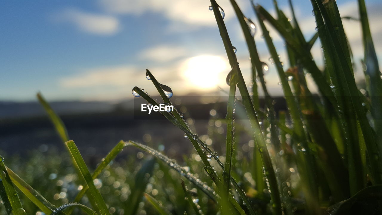 plant, growth, nature, beauty in nature, close-up, focus on foreground, drop, day, grass, wet, no people, water, selective focus, blade of grass, green color, one animal, tranquility, outdoors, sky, dew, purity, raindrop