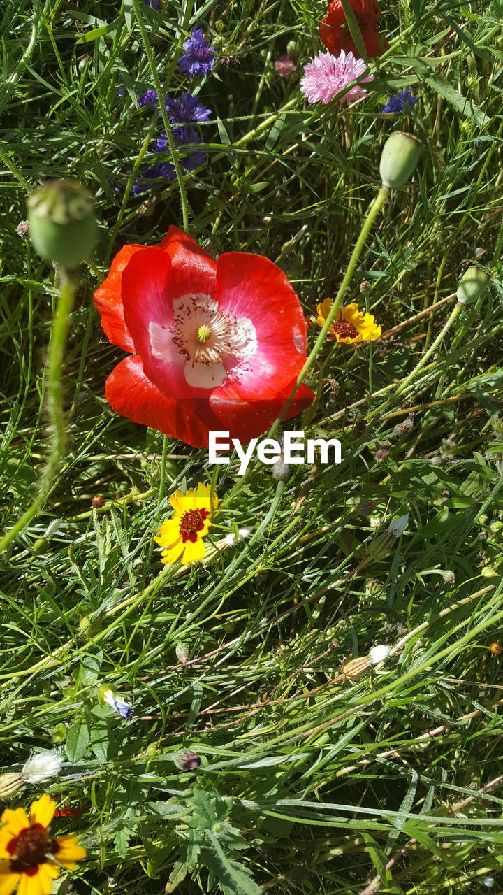 High angle view of poppy blooming outdoors