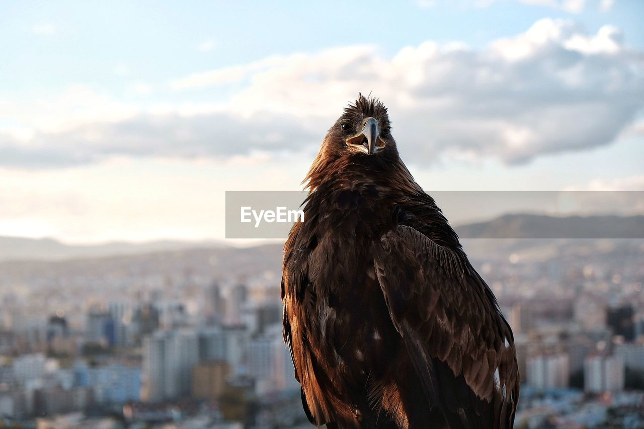 Close-up of hawk with cityscape in background