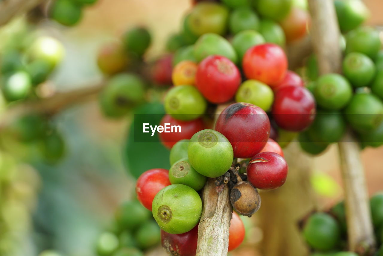 fruit, healthy eating, food and drink, food, freshness, red, close-up, growth, focus on foreground, wellbeing, day, no people, plant, tree, green color, agriculture, nature, berry fruit, selective focus, bunch, ripe
