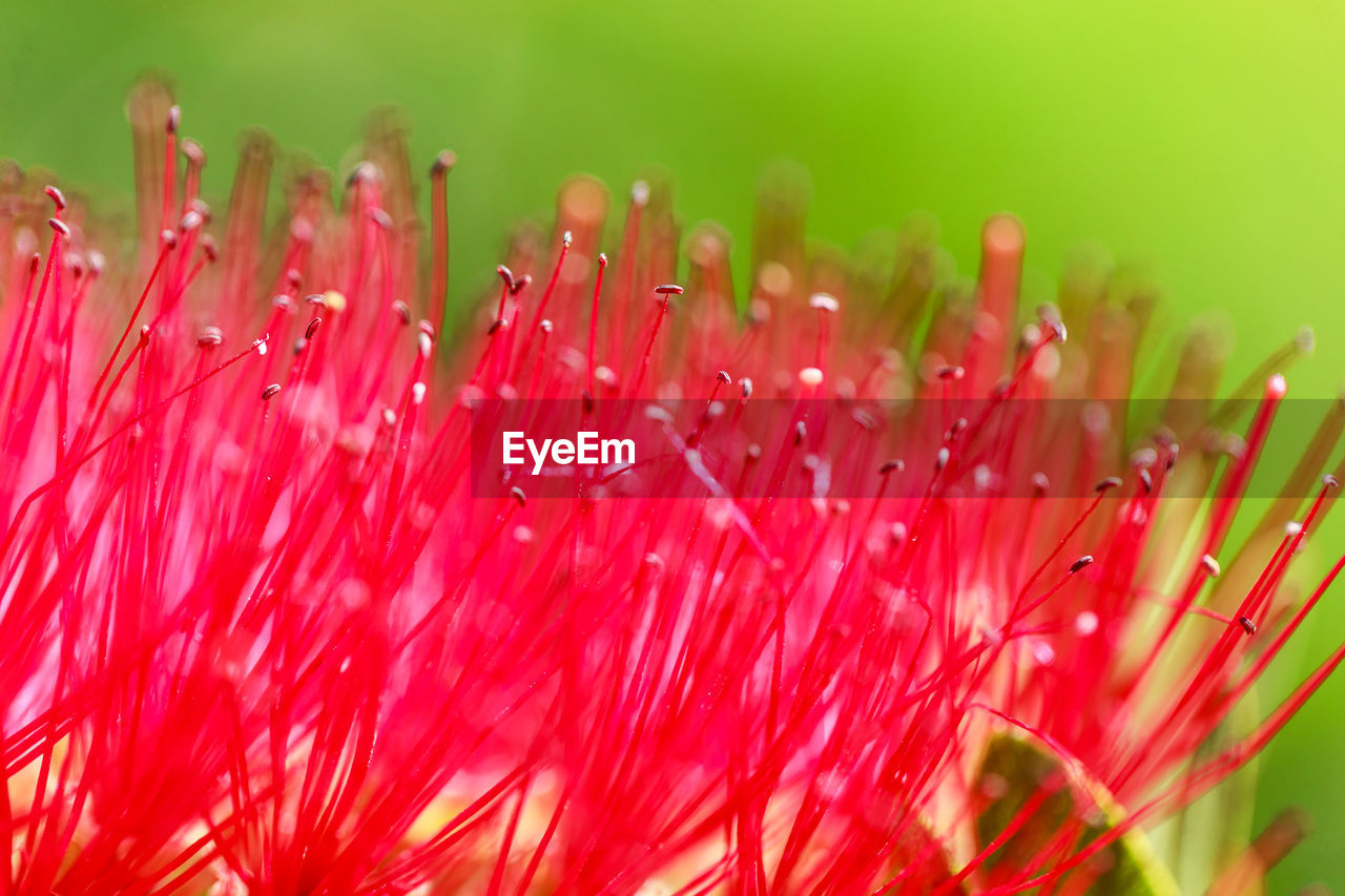 close-up, plant, red, flowering plant, flower, vulnerability, fragility, growth, beauty in nature, freshness, selective focus, flower head, no people, nature, pollen, inflorescence, petal, pink color, stamen