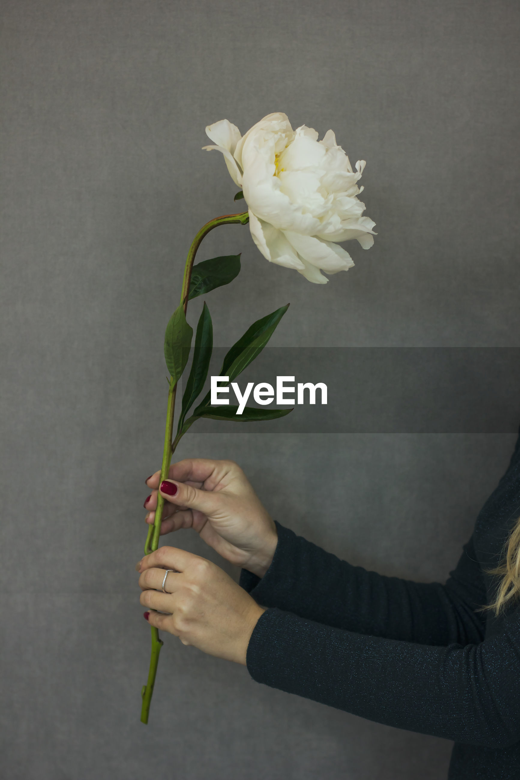 Close-up of woman hands holding white flower against wall