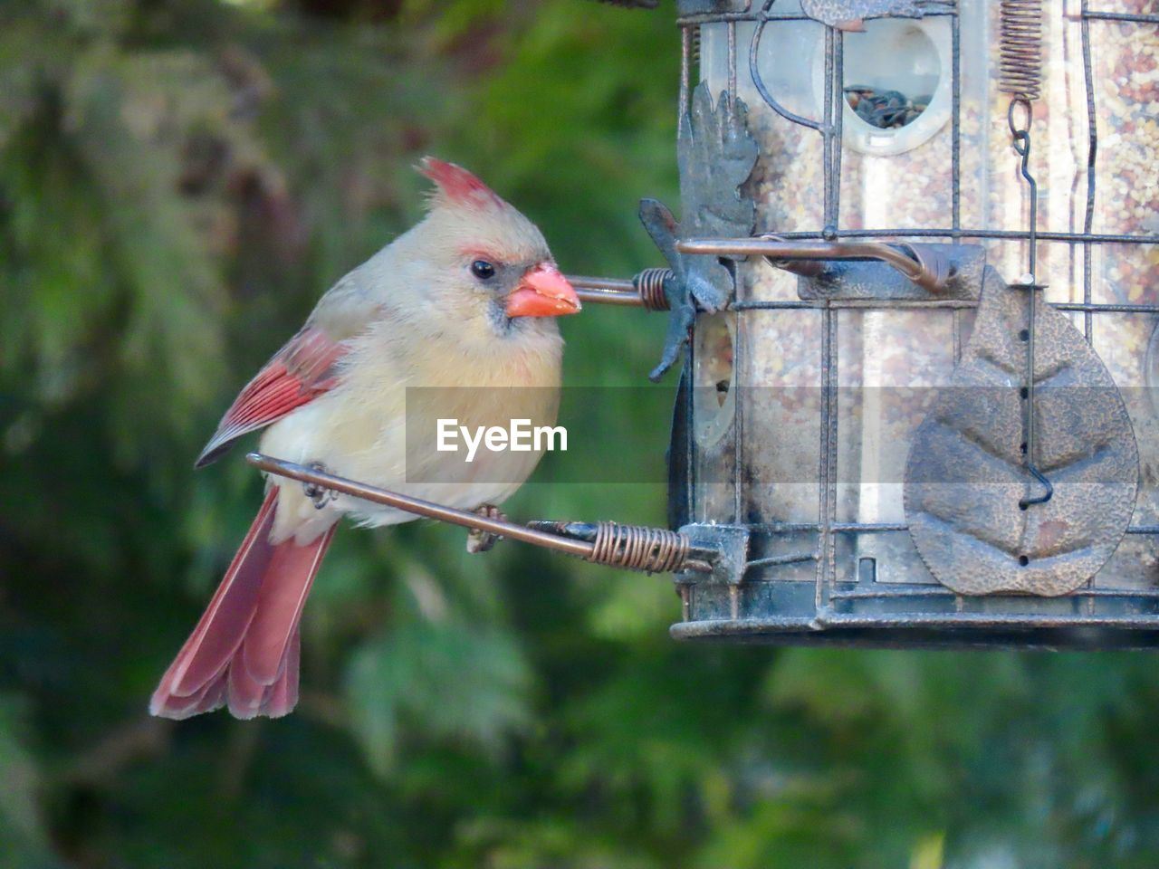 animal themes, animal, bird, vertebrate, one animal, animal wildlife, perching, animals in the wild, focus on foreground, no people, bird feeder, day, close-up, hanging, nature, outdoors, tree, red, plant, full length