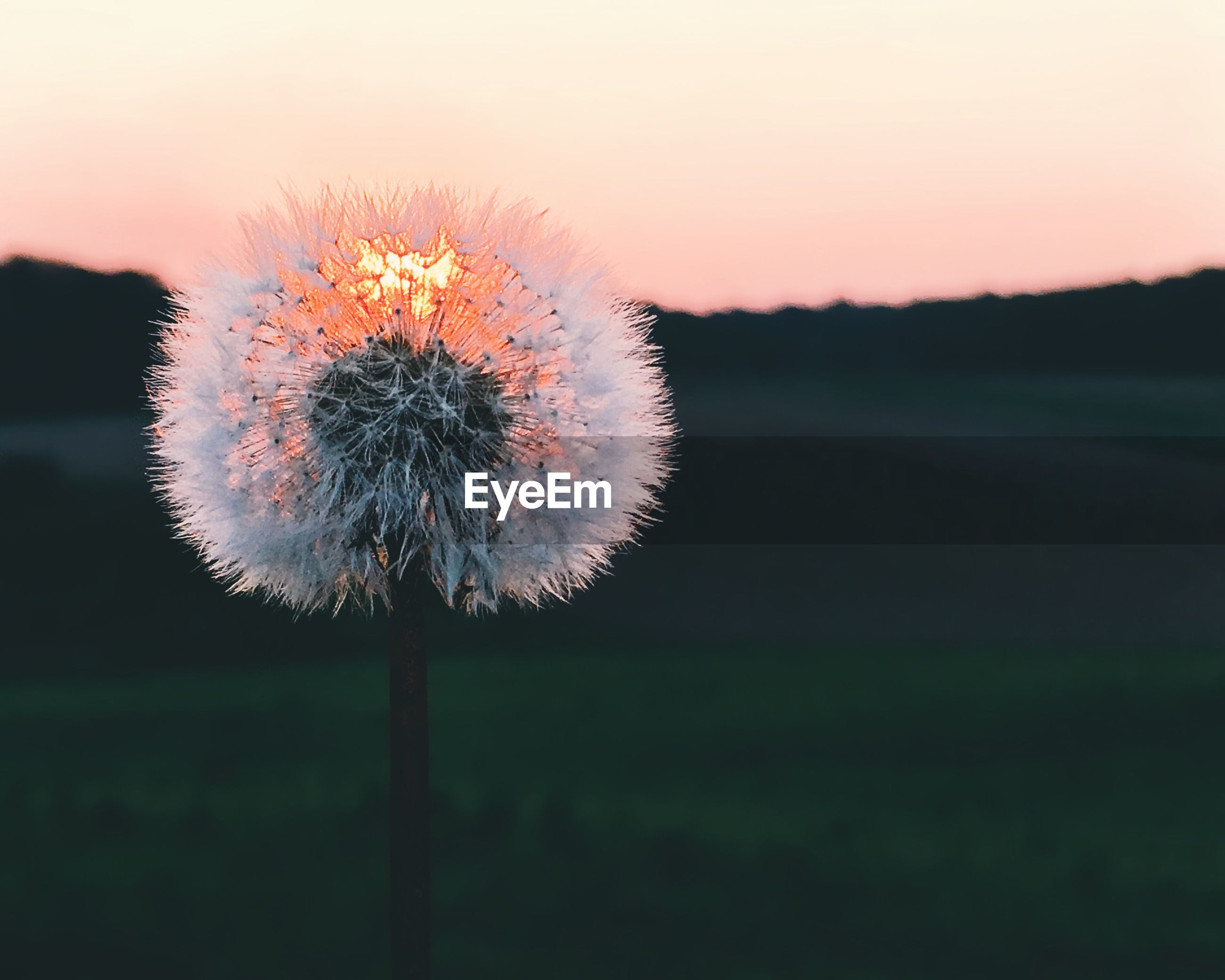 CLOSE-UP OF DANDELION GROWING ON FIELD AGAINST SKY