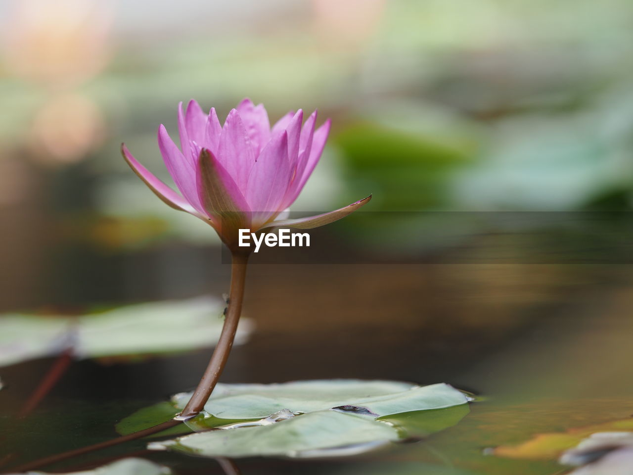 flowering plant, flower, beauty in nature, fragility, vulnerability, plant, close-up, nature, growth, pink color, freshness, focus on foreground, petal, no people, selective focus, leaf, plant part, inflorescence, water lily, flower head, outdoors, purple