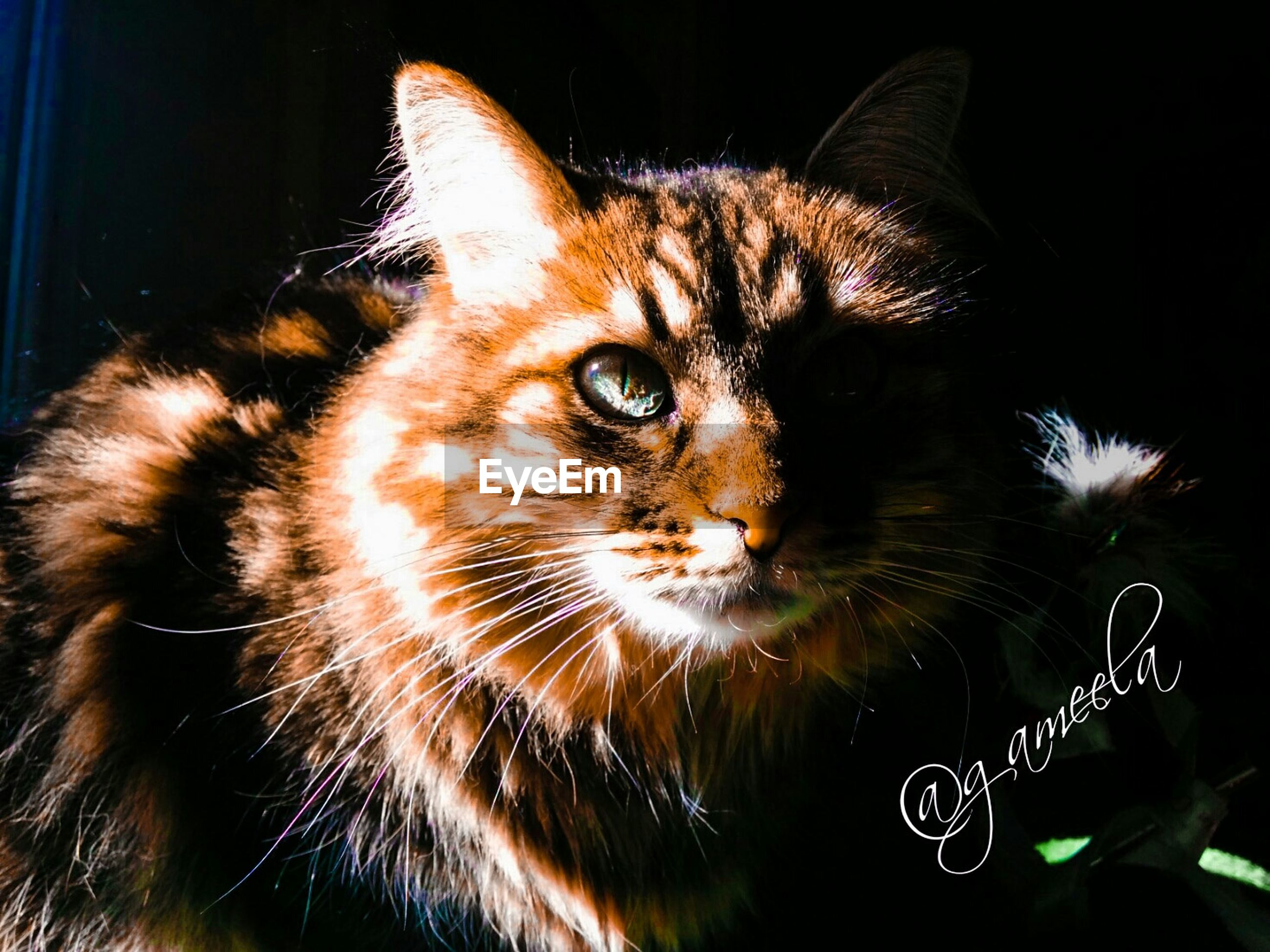 domestic cat, pets, cat, one animal, animal themes, domestic animals, feline, mammal, whisker, indoors, close-up, portrait, animal head, animal eye, looking away, alertness, no people, relaxation, animal body part