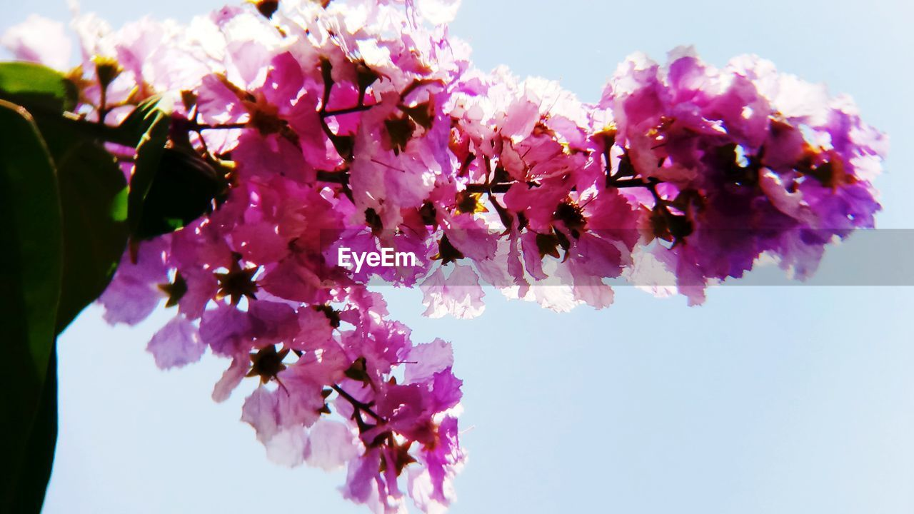 flower, beauty in nature, fragility, freshness, growth, nature, pink color, petal, blossom, low angle view, botany, springtime, day, purple, lilac, no people, outdoors, tree, branch, close-up, flower head, clear sky, sky, bougainvillea, blooming