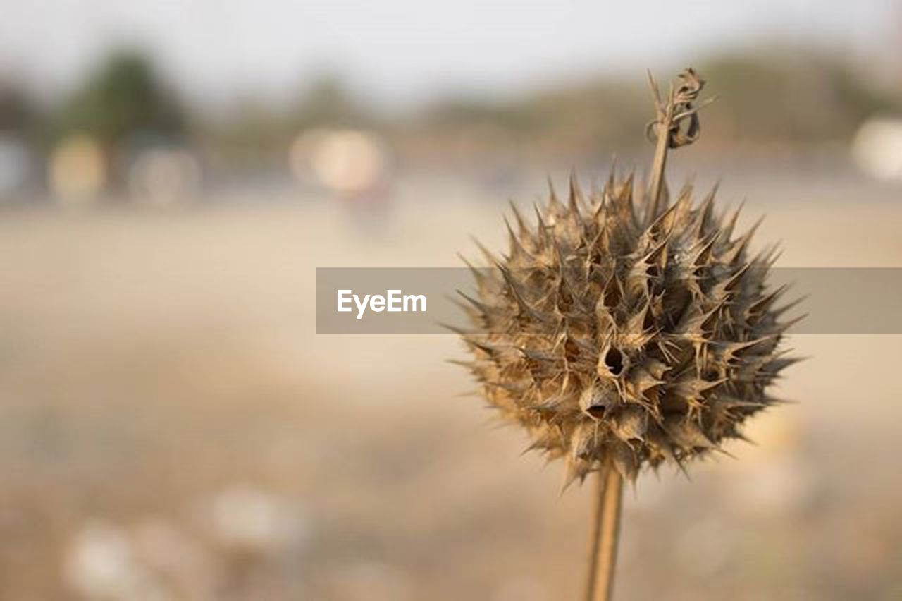 focus on foreground, day, nature, thistle, outdoors, no people, close-up, flower, animal themes