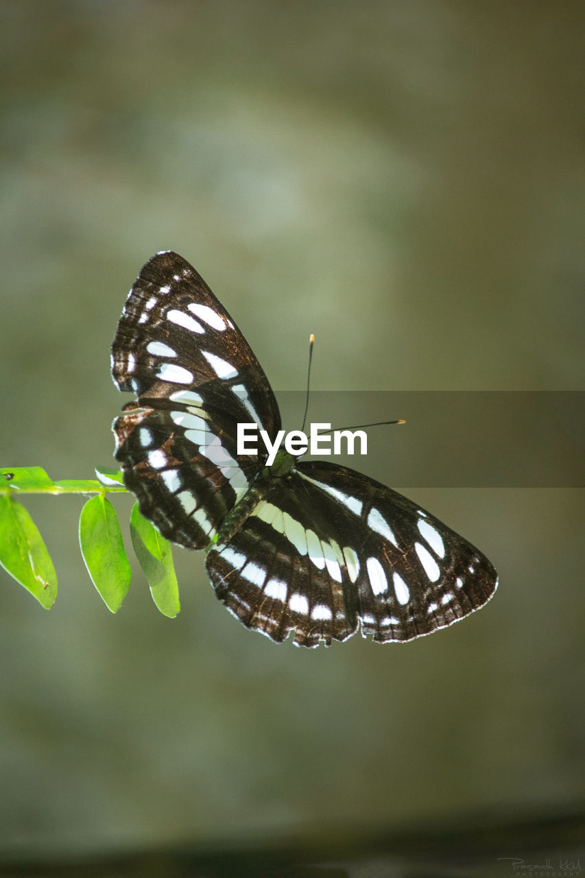 insect, animal themes, one animal, animals in the wild, butterfly - insect, nature, focus on foreground, close-up, animal wildlife, butterfly, no people, plant, day, outdoors, leaf, fragility, beauty in nature, perching, spread wings, freshness