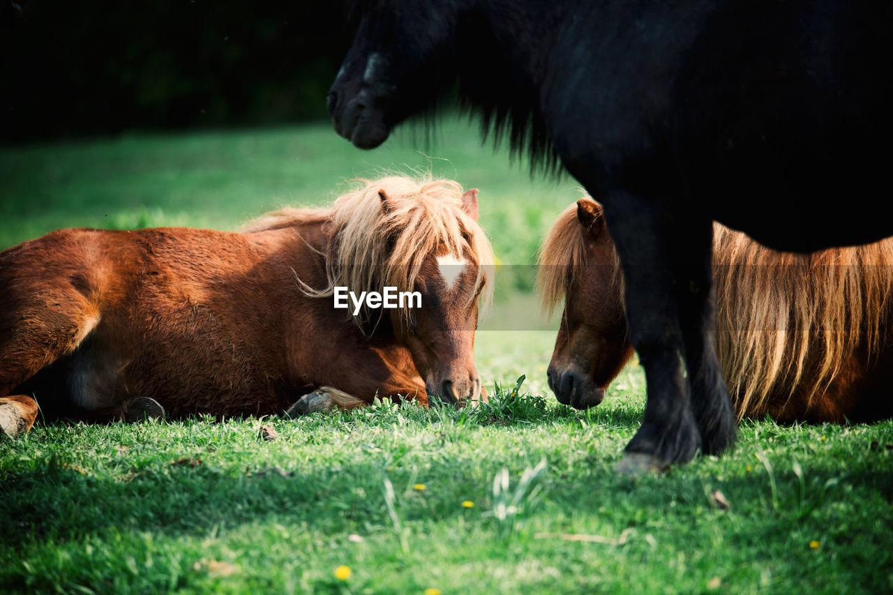 Ponies resting on grassy filed