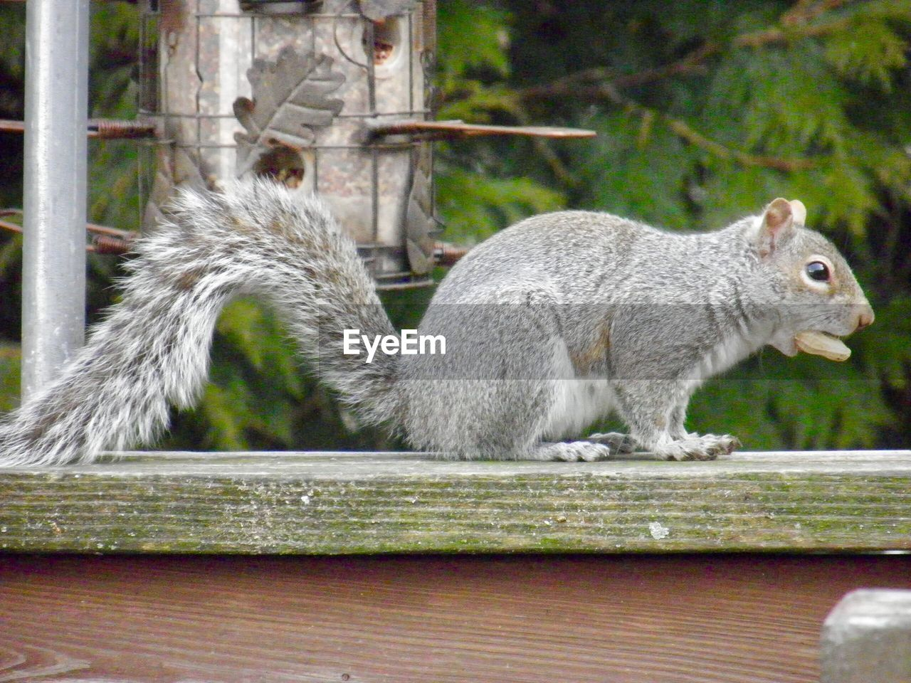 animal themes, animal, mammal, one animal, animal wildlife, vertebrate, focus on foreground, no people, day, animals in the wild, squirrel, close-up, rodent, tree, side view, railing, nature, wood - material, plant, full length