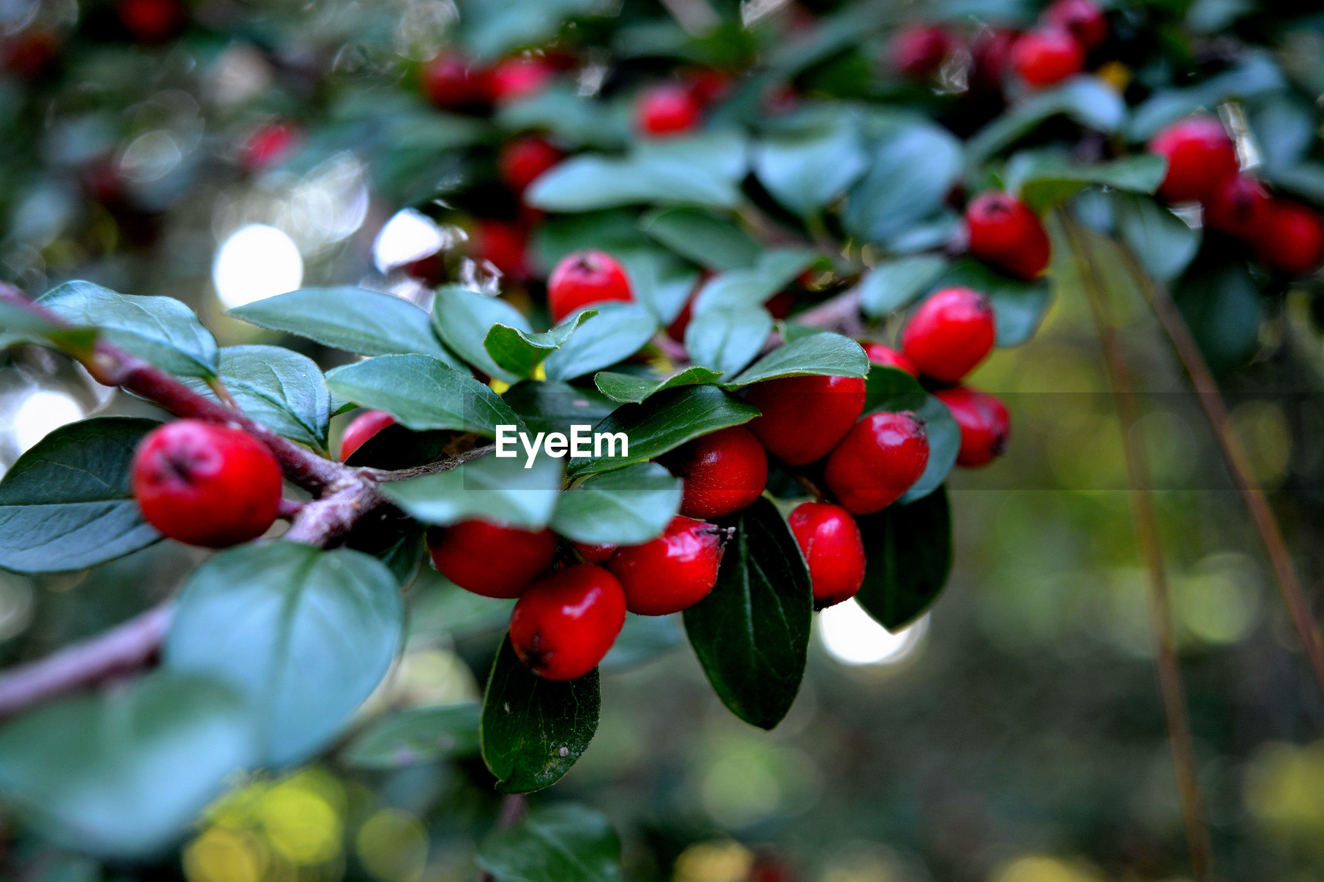 fruit, red, growth, close-up, nature, freshness, food and drink, food, no people, tree, healthy eating, day, outdoors, beauty in nature, rose hip