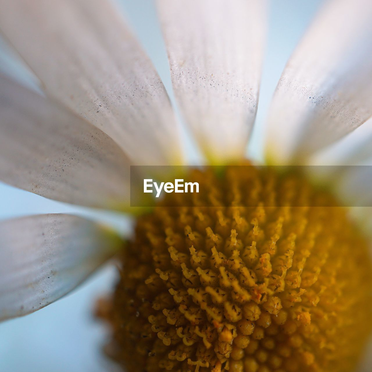 flowering plant, flower, fragility, vulnerability, beauty in nature, flower head, plant, freshness, inflorescence, petal, close-up, growth, yellow, pollen, selective focus, nature, no people, day, botany, gazania