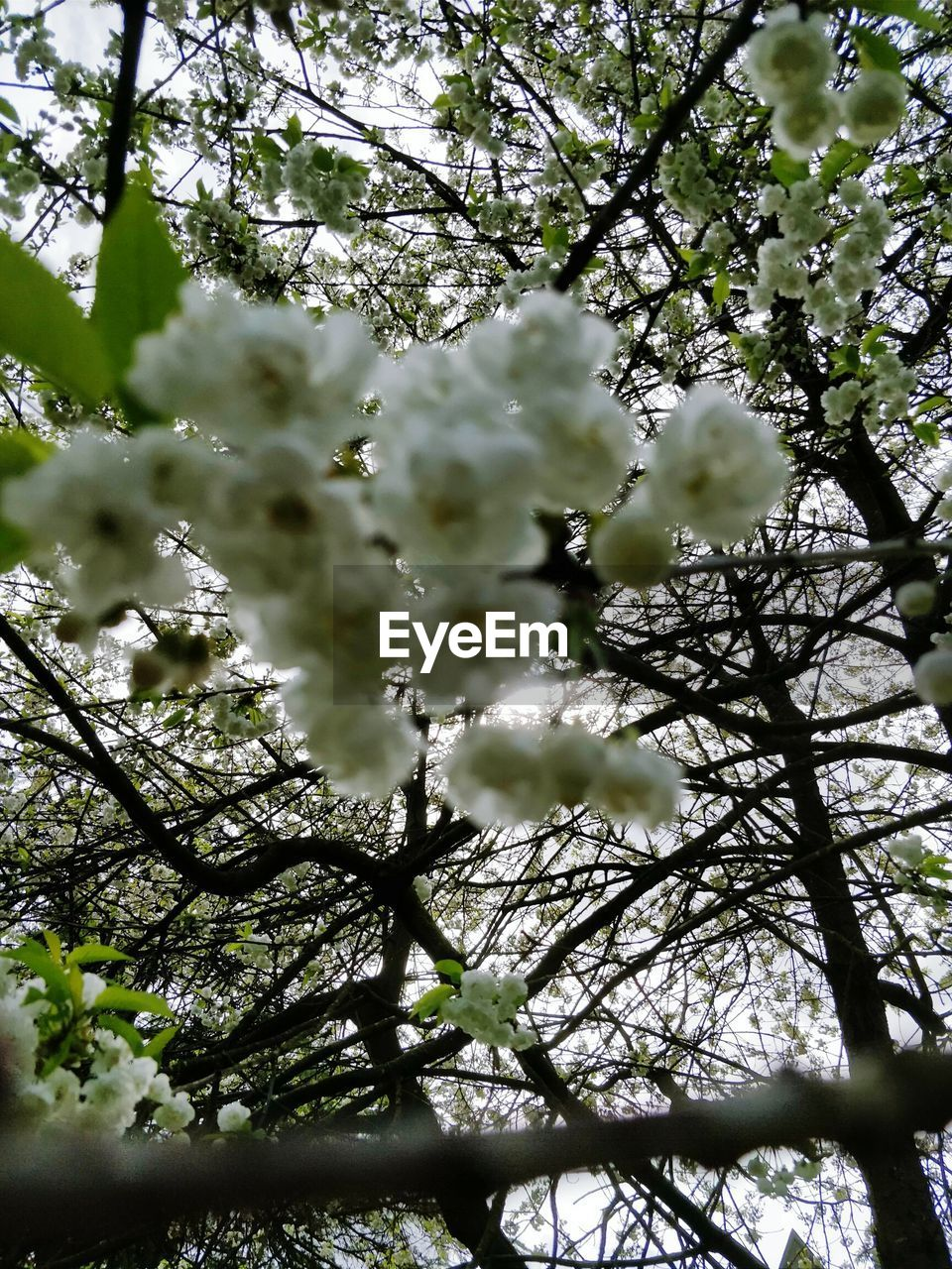 tree, plant, branch, growth, beauty in nature, flower, freshness, flowering plant, blossom, fragility, springtime, low angle view, day, nature, no people, vulnerability, selective focus, tranquility, white color, outdoors, cherry blossom, spring, cherry tree