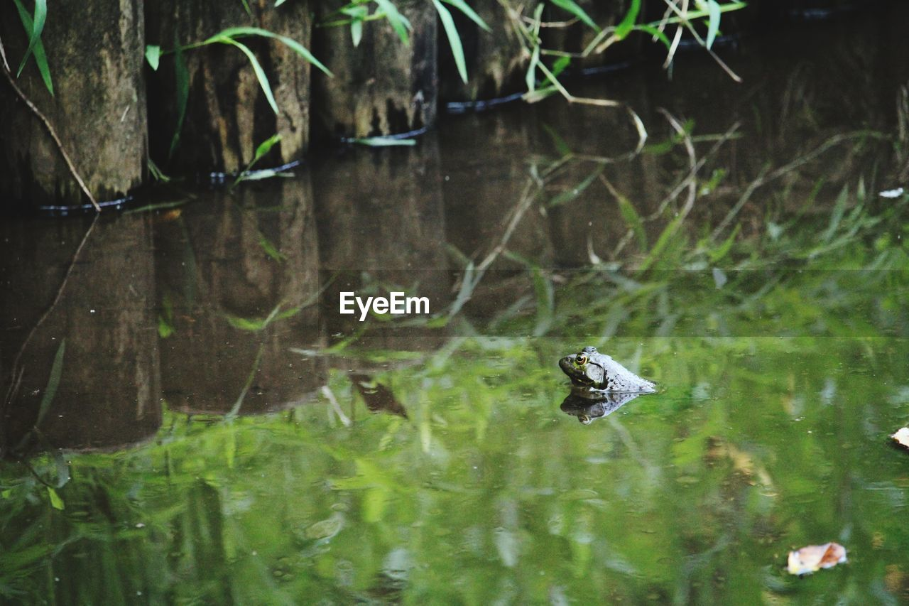 animal, animals in the wild, animal themes, water, animal wildlife, one animal, lake, nature, reflection, waterfront, day, vertebrate, no people, plant, reptile, outdoors, swimming, turtle, animal head