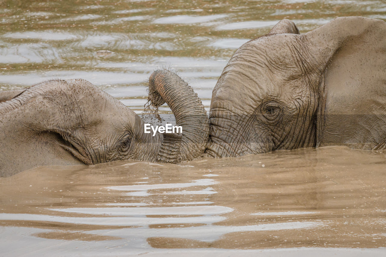 SIDE VIEW OF ELEPHANT IN LAKE