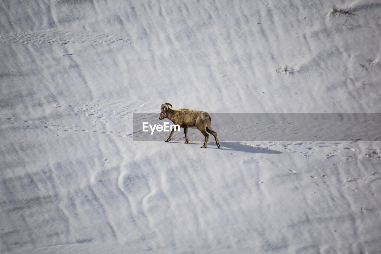 Side view of horned mammal walking on snow covered land