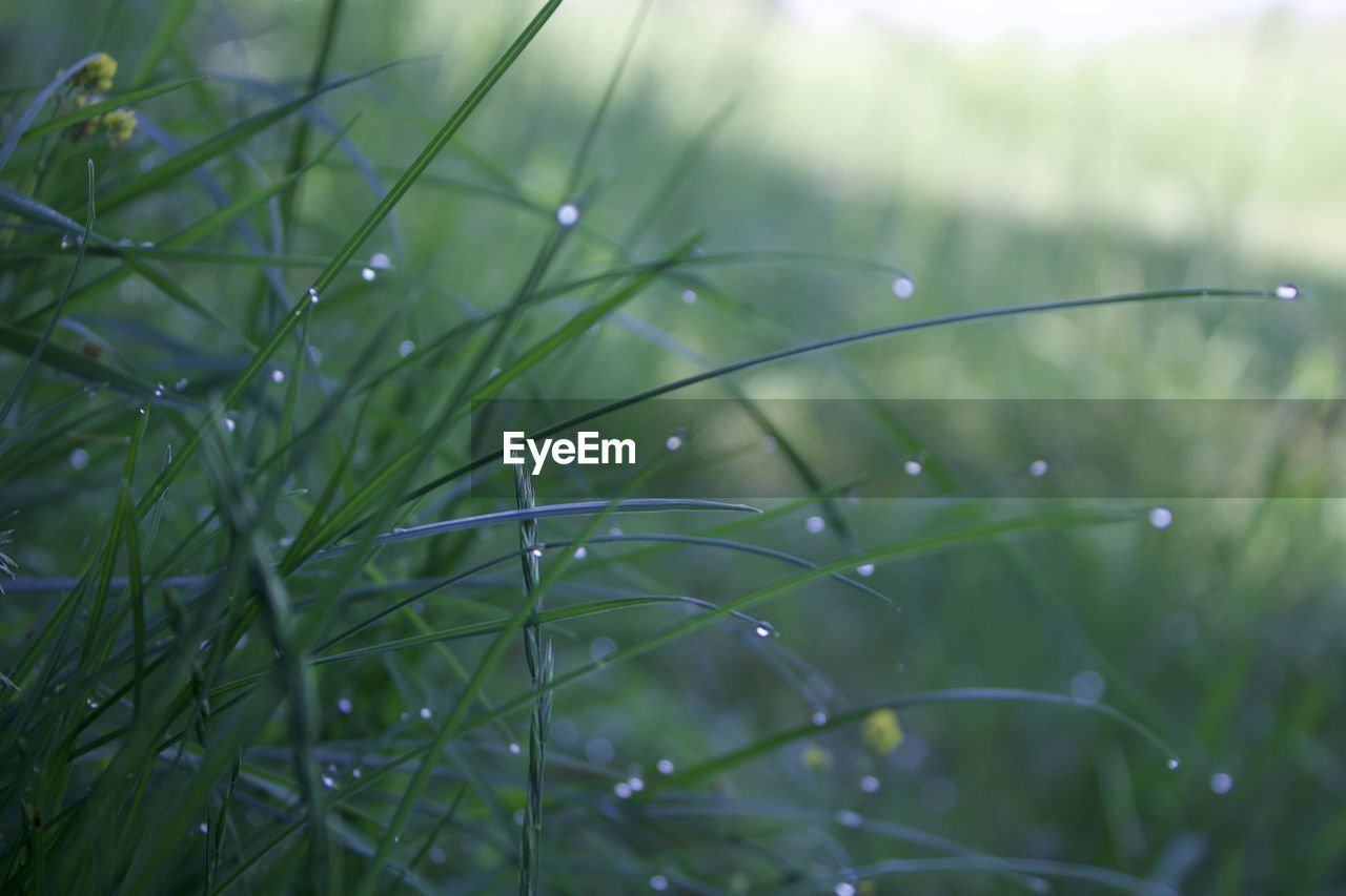 plant, green color, growth, water, drop, wet, grass, no people, nature, selective focus, close-up, focus on foreground, beauty in nature, day, freshness, tranquility, blade of grass, outdoors, rain, dew, raindrop, rainy season, purity