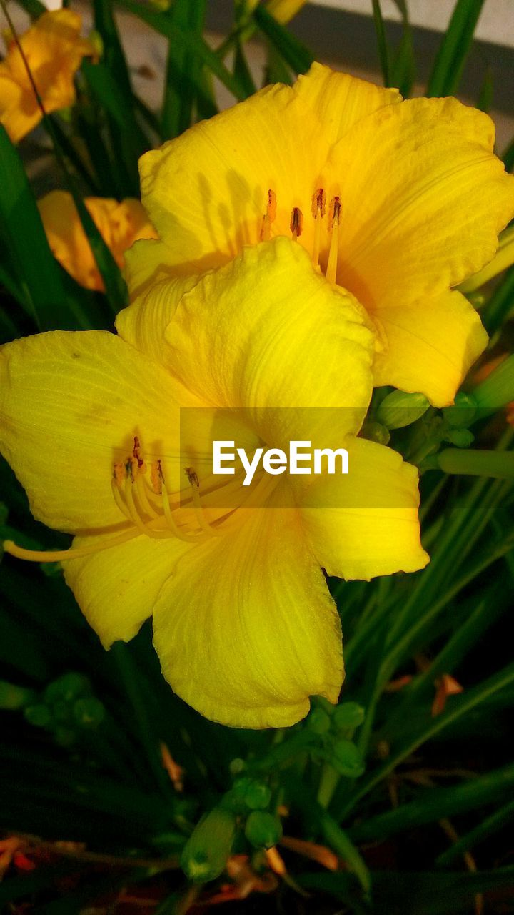 flower, petal, growth, fragility, beauty in nature, flower head, freshness, plant, yellow, nature, no people, close-up, outdoors, blooming, day, day lily