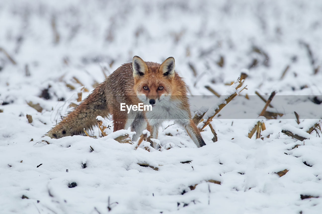 Portrait of fox on snow covered land
