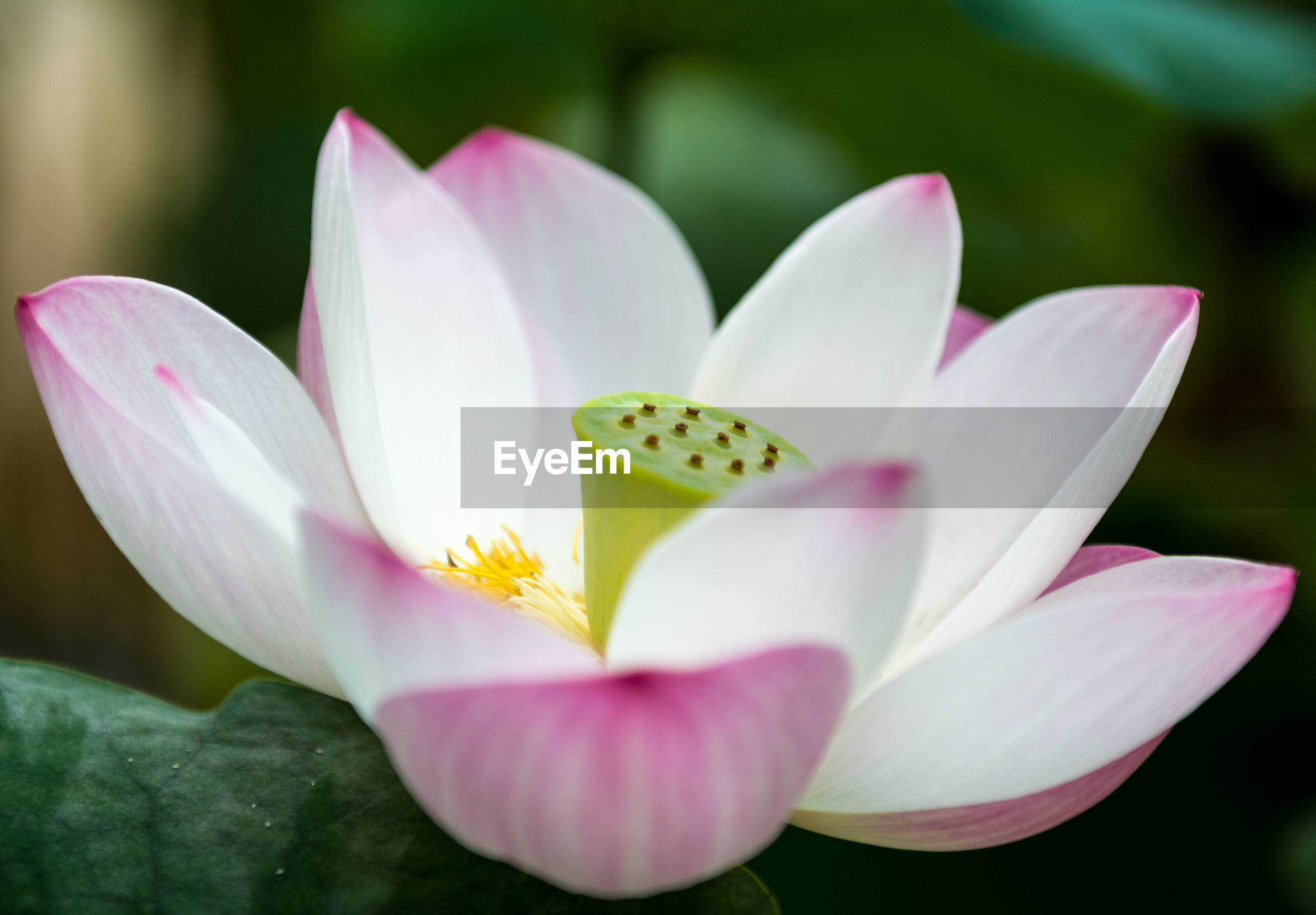 Close-up of pink lotus growing on pond